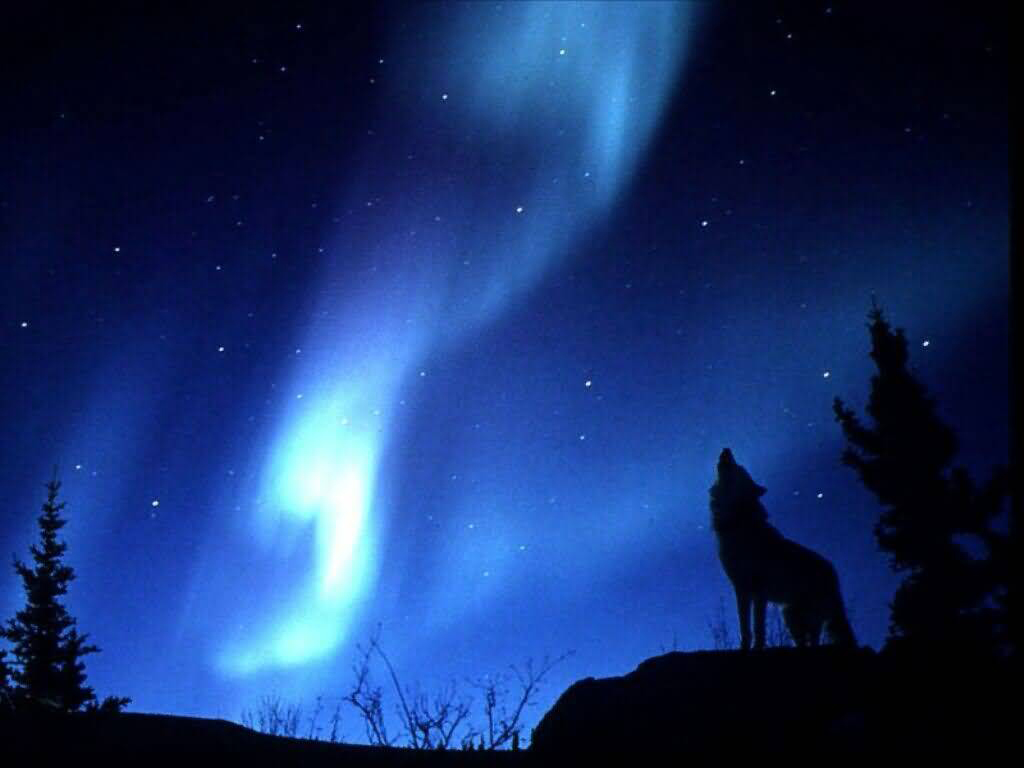 real northern lights wolf - photo #10